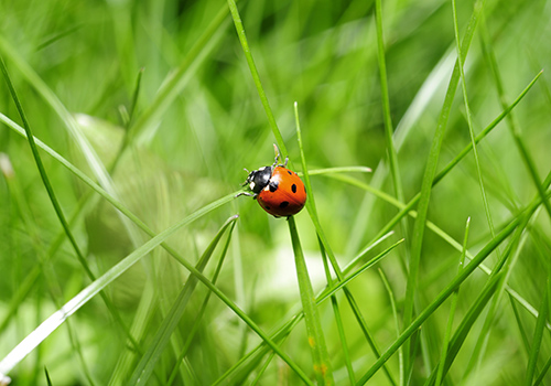 coccinelle-herbe