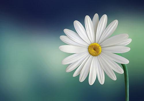 marguerite-fleur