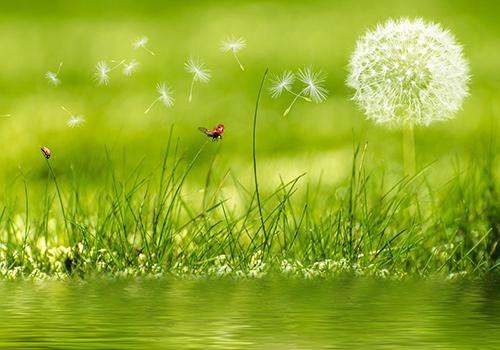 fleur-pissenlit-coccinelle-eau-prairie